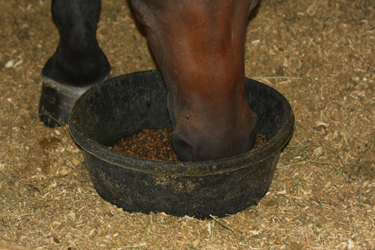 Horse eating sweet feed.